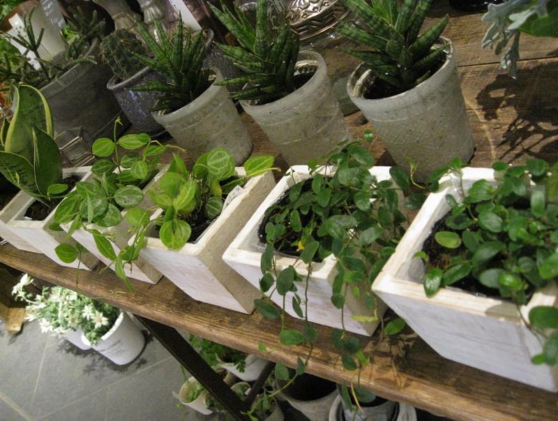 小さい観葉も入荷してきました。お部屋の隅っこに生き生きとしたグリーンをいかがですか?!